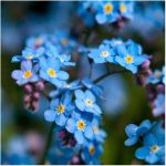 Cynoglossum Blue (Chinese forget-me-nots)