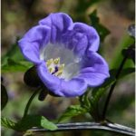 Nicandra physalodes Violacea